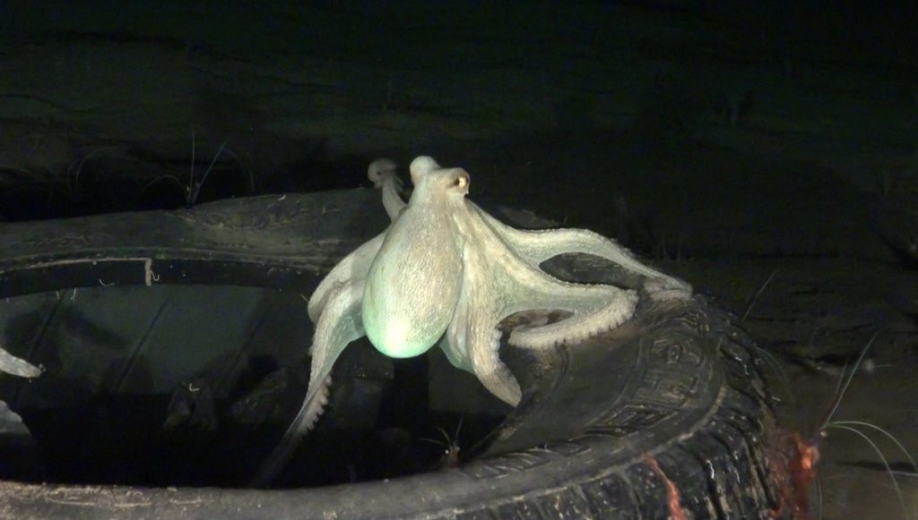 Octupus Vulgaris on a tire | Source: OCEANA