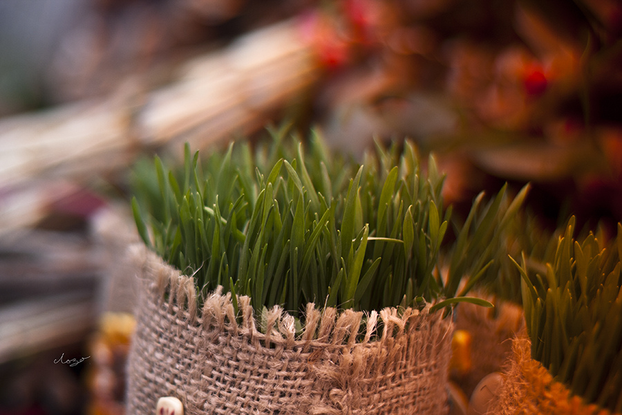 Christmas wheat shoots | Source: Flickr/VukLozo